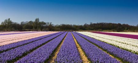 keukenhof: tulip fields near Keukenhof, Lisse, the Netherlands. Stock Photo