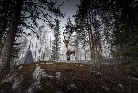 Reindeers in natural environment Archivio Fotografico
