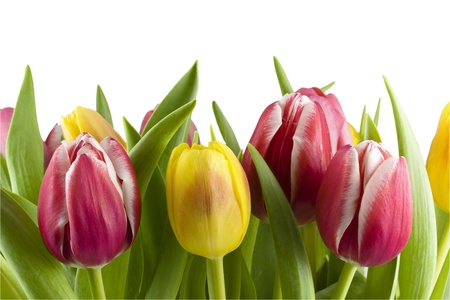 A bouquet fo tulips, Isolated on white Stock Photo