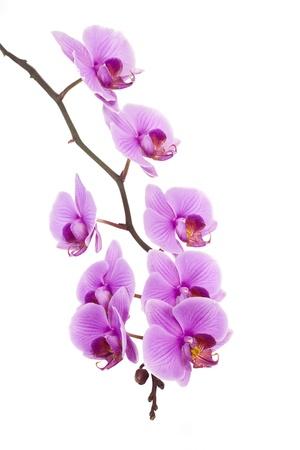 Rosa Orchidee mit Kopie Raum isoliert Standard-Bild - 12584314