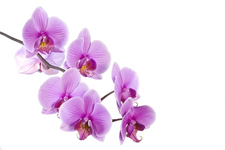 Pink orchid isolated with copy space photo