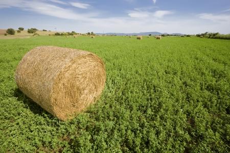 trefoil: Wrapped trefoil  lucern  bale in field