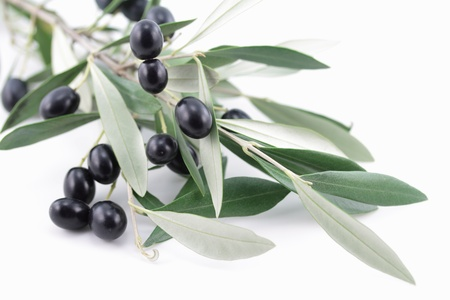 Branch of olive tree