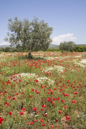 olive tree in poppy field