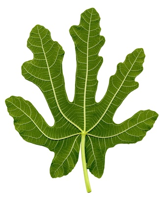 fig leaf: High detailed fig leaf , with clipping path