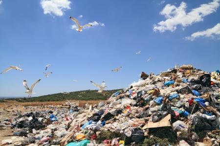 residuos toxicos: Bandada de gaviotas sobre vertederos. Materiales con derechos de autor eliminado completamente