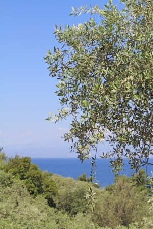 Olive grove in Thassos island, Greece photo