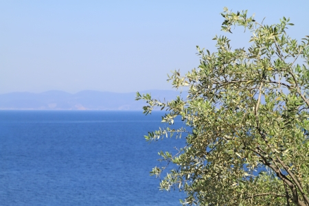 Olive tree by the blue Aegean sea , in Thassos island , Greece photo