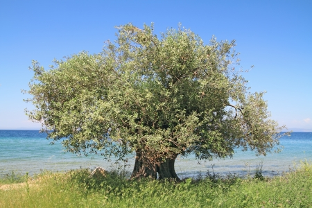 Olive tree by the blue Aegean sea , in Thassos island , Greece