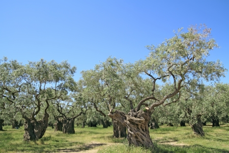 Olive grove in Thassos island, Greece Stock Photo