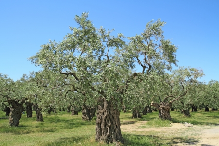 thassos: Olive grove in Thassos island, Greece Stock Photo