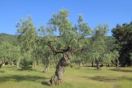 arboleda: Campo de olivos en la isla de Thassos, Grecia