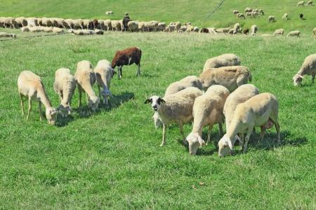ewe: Herd of sheeps in the greek countryside