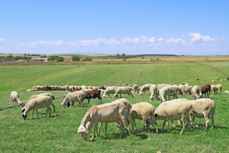 Herd of sheeps in the greek countryside