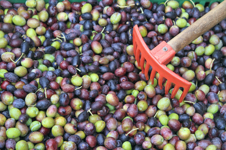 Olives harvested , in plastic crate