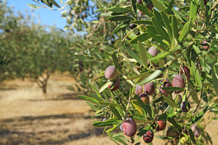 Olive grove in the greek countryside
