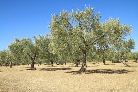 olive farm: Olive grove in the greek countryside