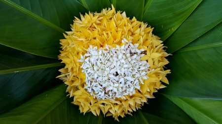 The yellow flower on green leaves background the yellow flower stock photo the yellow flower on green leaves background the yellow flower with white flower on center these flower is the ixora mightylinksfo