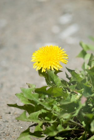 dandelion flowers about the road. photo
