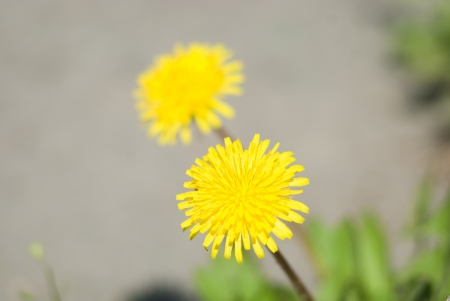 Two yellow flowers of a dandelion a close up against asphalt photo