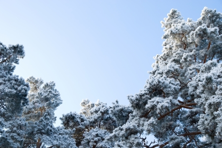 Winter forest. The tops of the pine trees covered with snow photo