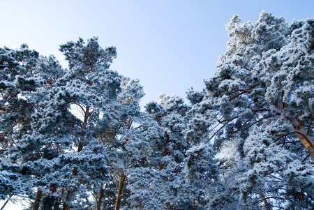 Winter forest. The tops of the pine trees covered with snow Stock Photo - 17354467