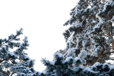 Pine trees in winter on a background of the sky. Stock Photo - 17354456