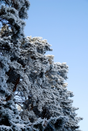 The tops of the pine trees covered with snow. Stock Photo - 17354463