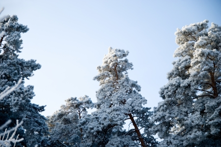 Pine trees in winter on a background of the sky. photo