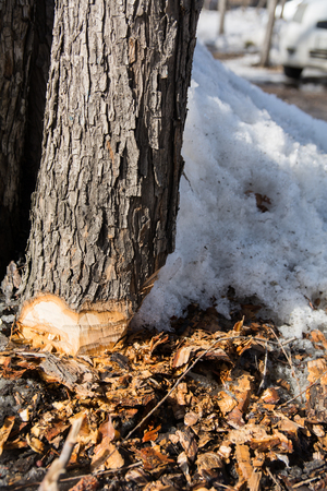 Lower part of the trunk of a tree cut off by an ax and chips around with snow.
