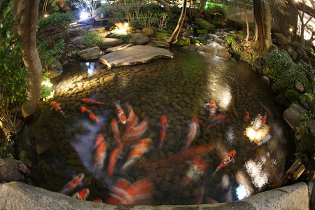 Image of carp swim a Japanese garden 版權商用圖片