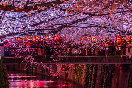 Of going to see cherry blossoms at night Nakameguro Meguro River