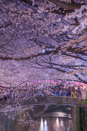 Cherry blossoms of the Meguro River