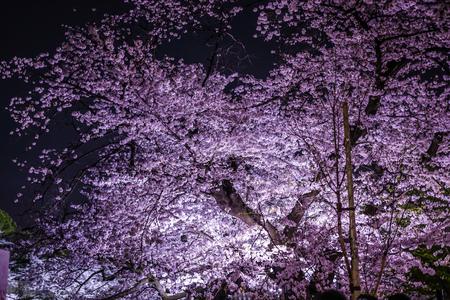 Of Chidorigafuchi going to see cherry blossoms at night