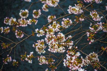 Sakura of Meguro River 免版税图像