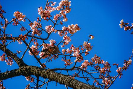 Kawazu cherry tree and Bulbul
