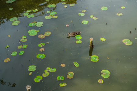 Lotus and duck
