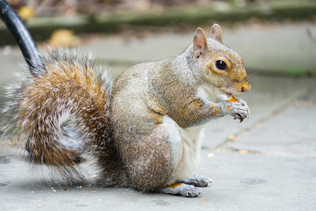 Squirrels eating acorns
