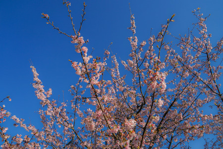 Blue sky and cherry background.