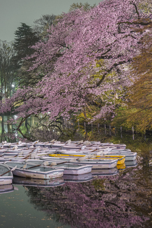 Going to see cherry blossoms at night and the boat of Inokashira Park Editorial