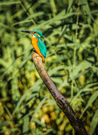 Kingfisher image (Yamato-shi Izumi Forest Park) Archivio Fotografico