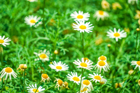 White and yellow flowers (daisy Margaret chamomile)