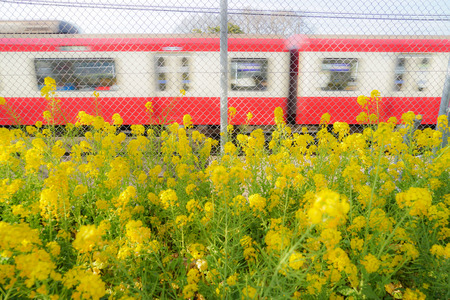 Rape field and Keikyu line of Miurakaigan Stok Fotoğraf