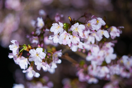 Early flowering cherry tree (Sakura Kawazu) 版權商用圖片