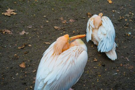 St James Park of the White Pelican