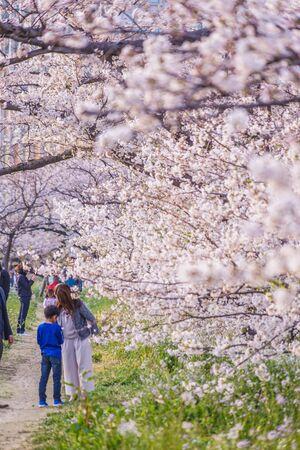 Sakura and Futakotamagawa building group of the full bloom