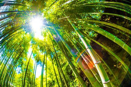 The sun peek from bamboo grove 写真素材 - 130064492