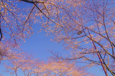 Full bloom of the cherry tree and sunny blue sky (N. Bell Airport)