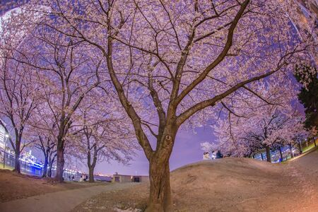 Full bloom of cherry blossoms and the Minato Mirai of night view Zdjęcie Seryjne