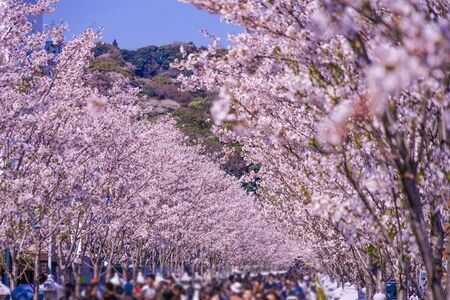 Full bloom of the cherry tree-lined (Kamakura of the approach Wakamiya Oji)